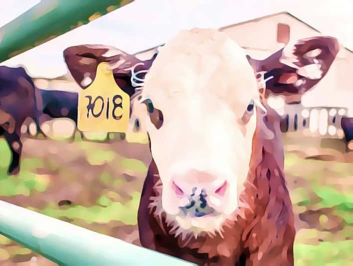 Stipplr Photoshop Cartoonize Action Cow on Farm with Ear Tags