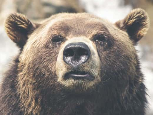 Stipplr Stock Photo Brown Grizzly Bear Stares Down a Photographer From Distance
