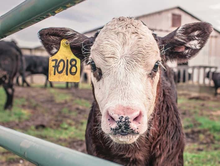 Stipplr Stock Photo Dairy Cow farm shows cattle enjoying the outdoors inside penn