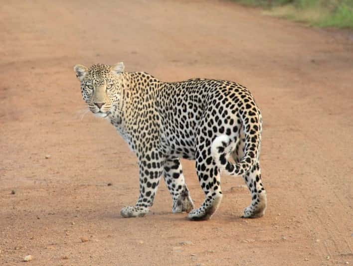 Stipplr Stock Photo Leopard Crossing Road Turns to Stare At Photographer
