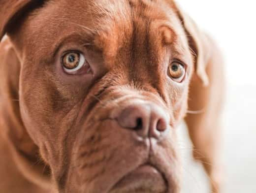 Stipplr Stock Photo Pitbull Dog Starring Ominously Toward Owner As If Being Spoken To